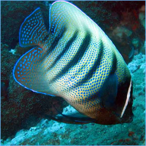 Six-Banded Angelfish or Six Striped Angelfish