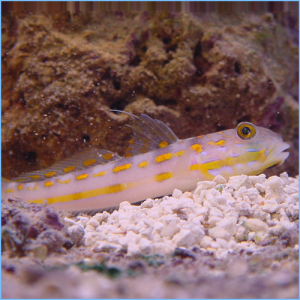Sleeper Railway Glider Goby