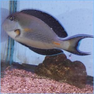 Sohal Tangfish or Sohal Surgeonfish
