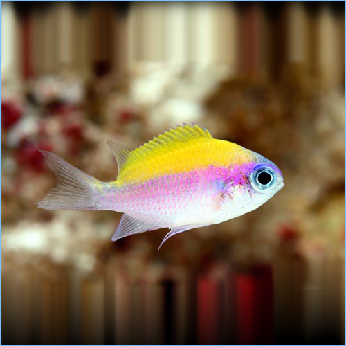 Sunshine Chromis Damselfish or Purple & Yellow Chromis