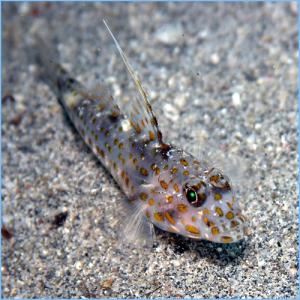 Tangaroan Shrimp-Goby