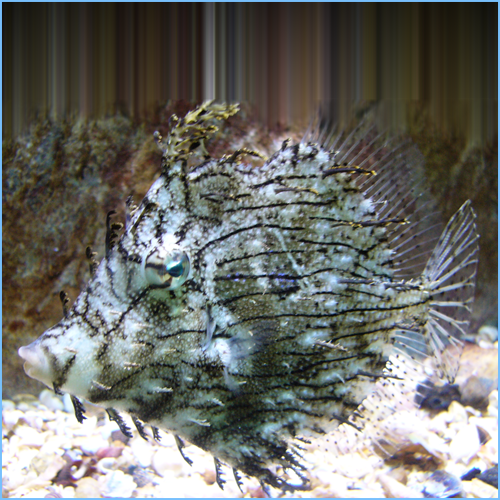 Tassle Filefish or Prickly Leather-Jacket Filefish