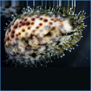 Tiger Cowrie Snail