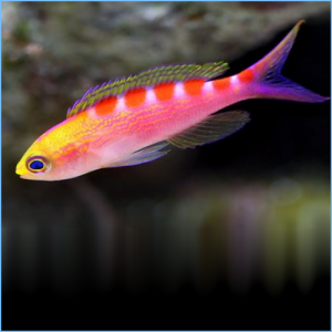 Tiger Queen Anthias or Queen Tiger Fish