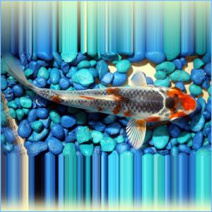 Tri-Colored Koi Pond Fish