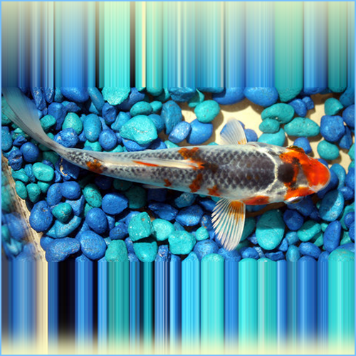 Tri-Colored Koi Pond Fish