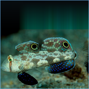 Two-Spotted Goby