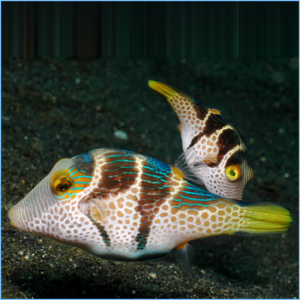 Valentin's Sharpnose Puffer or Black Saddled Toby