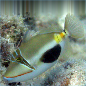 Verrucosus Triggerfish or Blackbelly Triggerfish