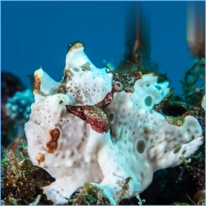 Warty Frogfish or Wartskin Angler
