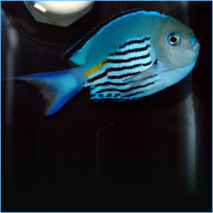 Watanabe's Angelfish Male