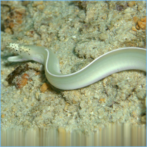 White Ribbon Eel