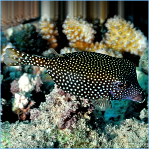 White-Spotted Boxfish