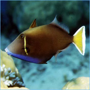 White Tail Triggerfish or White Tip Triggerfish