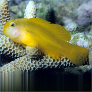 Yellow Clown Goby or Okinawa Goby