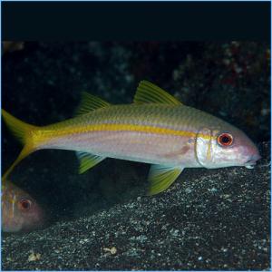 Yellow Goatfish or Yellowsaddle Goatfish