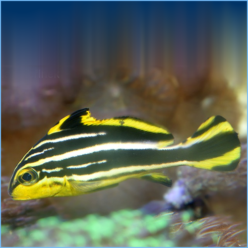 Yellow Lined Sweetlips or Striped Sweetlips Fish