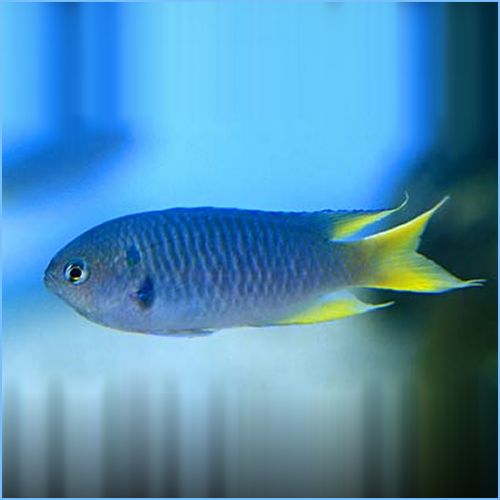 Yellow Tail Chromis Damselfish