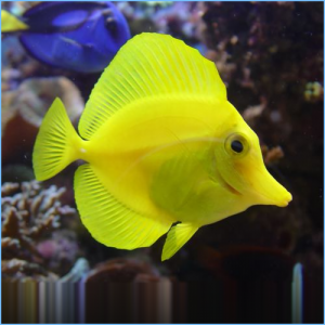 Yellow Tangfish or Yellow Tang