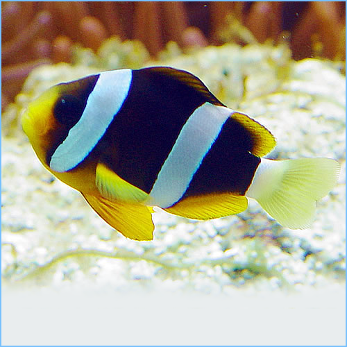 Clark's Anemonefish or Yellowtail Clownfish